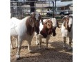 boar-goat-for-sale-small-0