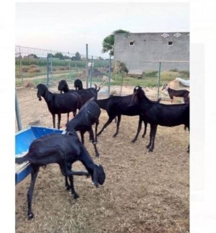 beteel-hybrid-goat-big-0