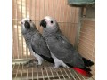 africa-grey-talking-parrots-small-2