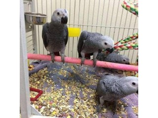 Africa grey talking parrots.
