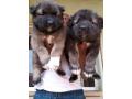 caucasian-shepard-puppies-small-0