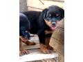 rottweiler-puppies-small-0