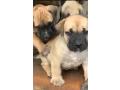 boerboel-puppies-small-0
