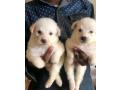 american-eskimo-puppies-small-0