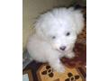 lahsa-apso-puppy-small-0