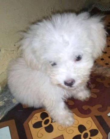lahsa-apso-puppy-big-0