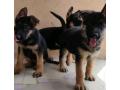 german-shepherd-puppies-small-0