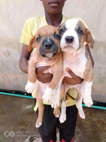 american-pitbull-puppy-big-0