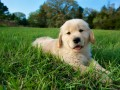 golden-retriever-puppies-for-sale-small-2