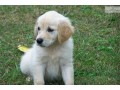 golden-retriever-puppies-for-sale-small-3