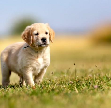 golden-retriever-puppies-for-sale-big-1