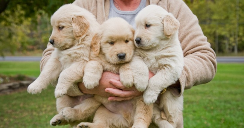 golden-retriever-puppies-for-sale-big-0