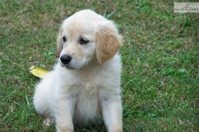 golden-retriever-puppies-for-sale-big-3