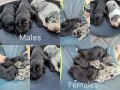 great-dane-puppies-cape-town-small-2